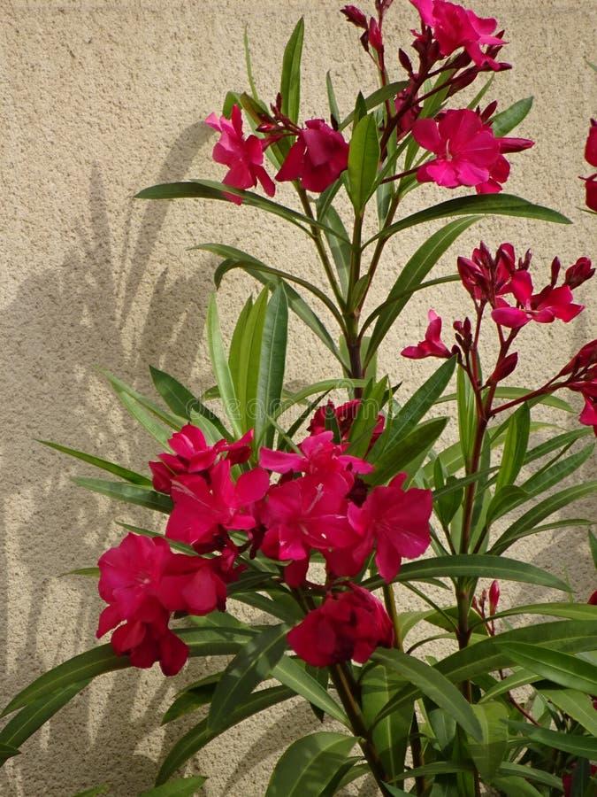 Oleandro cor-de-rosa - jardim floresce - Ile de Puteaux, França fotos de stock