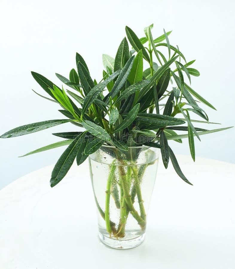 Oleandro di bianco del Nerium della pianta immagine stock