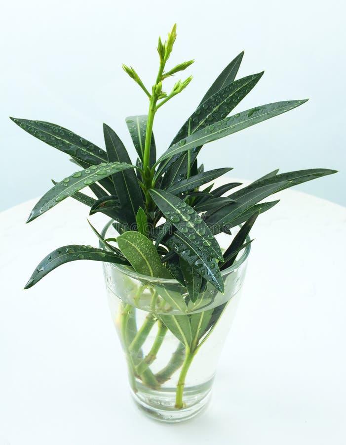Oleandro di bianco del Nerium della pianta fotografia stock libera da diritti