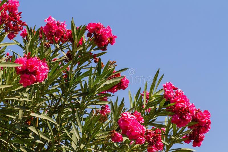 Oleandro do Nerium, arbusto de florescência do oleandro cor-de-rosa fotografia de stock