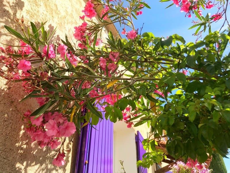 Oleandro do Nerium na frente da janela roxa e da parede amarela ver?o foto de stock royalty free