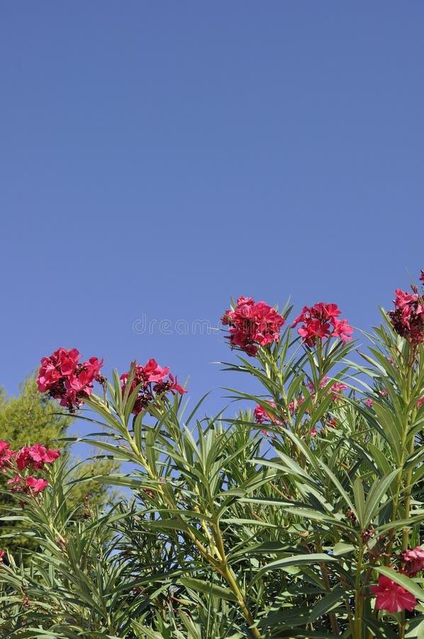 Oleandro florescido no céu de Atenas em Grécia fotos de stock royalty free