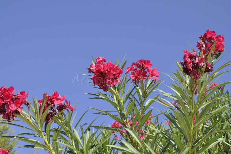 Oleandro florescido no céu de Atenas em Grécia fotografia de stock
