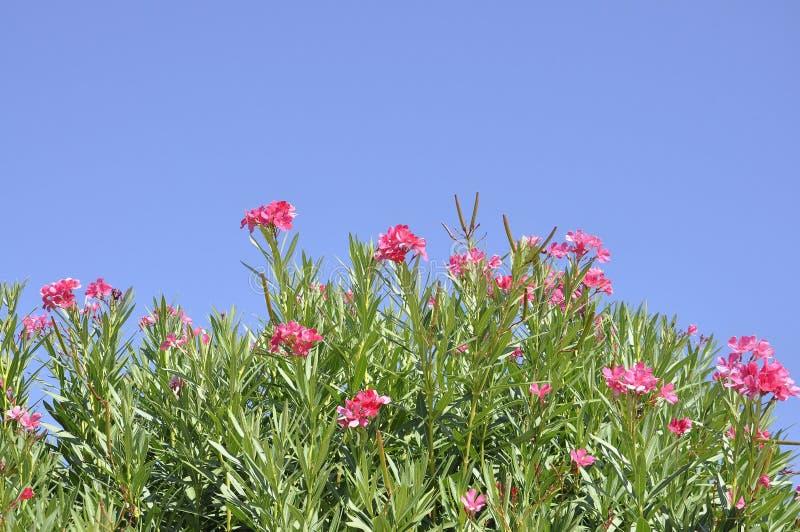 Oleandro florescido no céu de Atenas em Grécia fotografia de stock royalty free