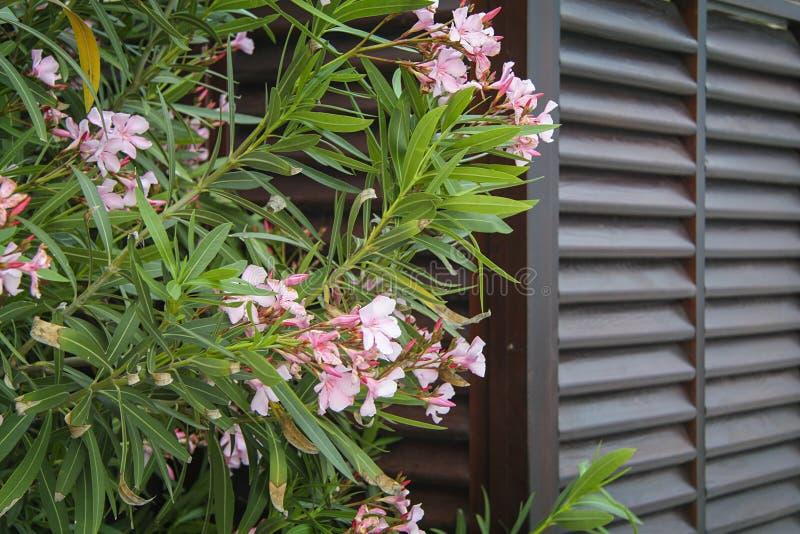 Oleandrowi kwiaty zdjęcia stock