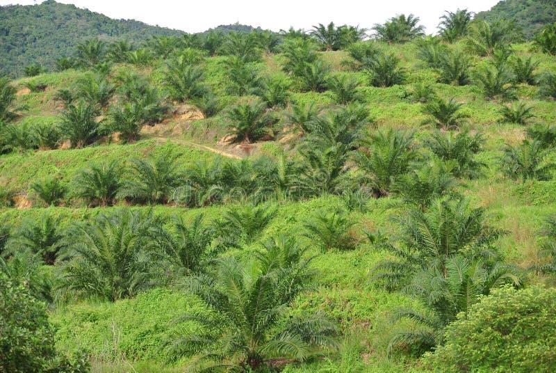 Olejów palmowych drzewa w olej palmowy plantaci nieruchomości obraz royalty free