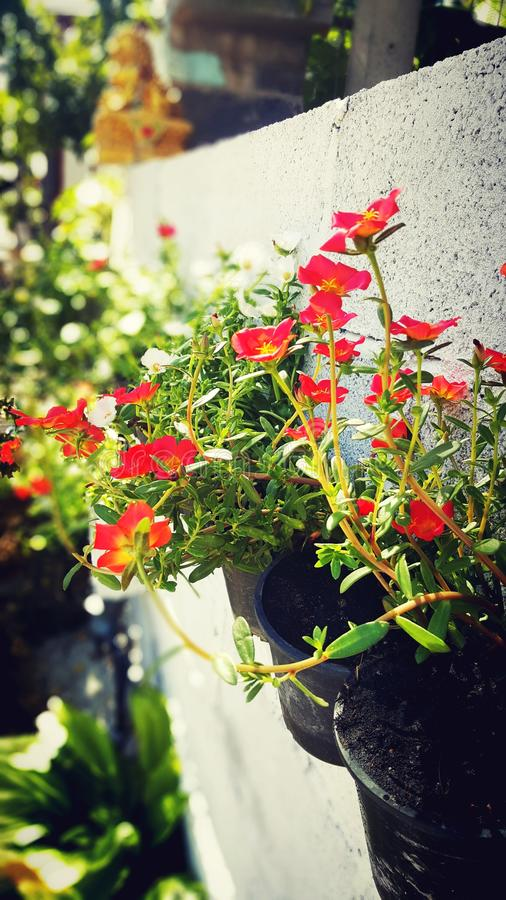Oleracea de Portulaca image stock