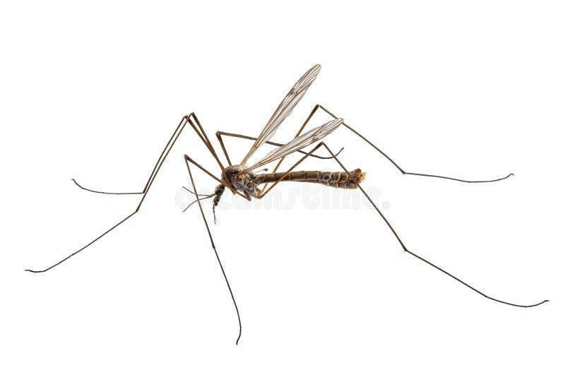 Oleracea de Tipula de la especie de Cranefly imágenes de archivo libres de regalías