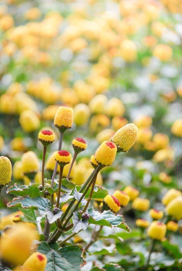 Oleracea di spilanthes, pianta di crescione di para fotografia stock