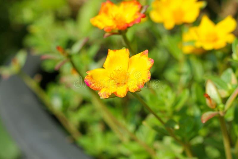 Oleracea die van bloemportulaca in de ochtendzon tot bloei komen in de zomer van Thailand stock fotografie