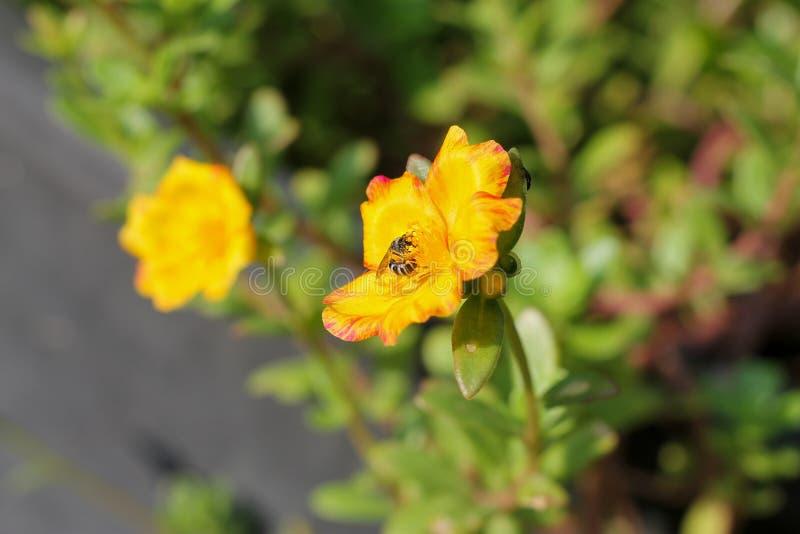 Oleracea die van bloemportulaca in de ochtendzon tot bloei komen in de zomer van Thailand royalty-vrije stock afbeeldingen