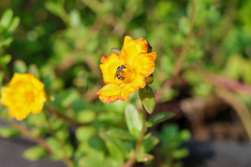 Oleracea die van bloemportulaca in de ochtendzon tot bloei komen in de zomer van Thailand stock afbeelding