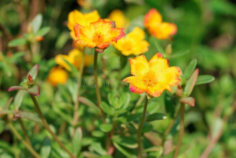 Oleracea die van bloemportulaca in de ochtendzon tot bloei komen in de zomer van Thailand royalty-vrije stock foto