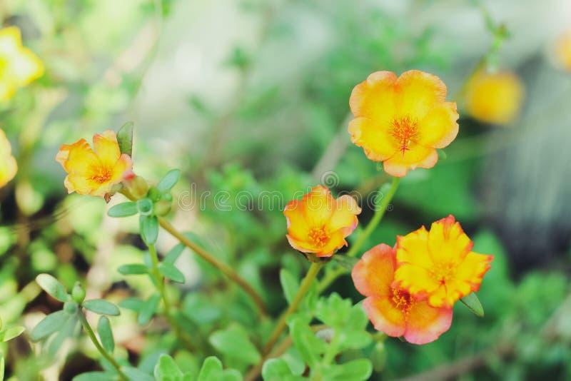 Oleracea die van bloemportulaca in de ochtendzon tot bloei komen in de zomer van Thailand royalty-vrije stock fotografie