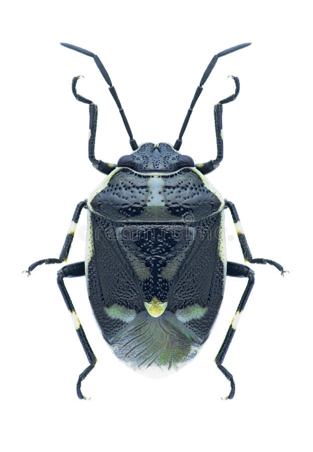 Oleracea van insecteneurydema royalty-vrije stock foto's