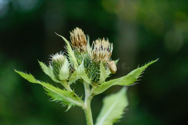 Oleraceum Cirsium, thistle капусты или сибирский thistle стоковое изображение rf