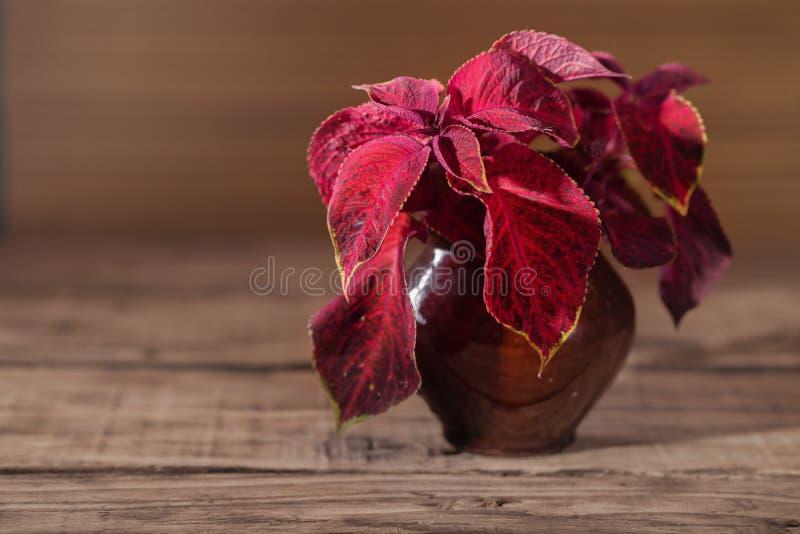 Oleus vermelho do  de Ñ em um potenciômetro cerâmico fotos de stock royalty free