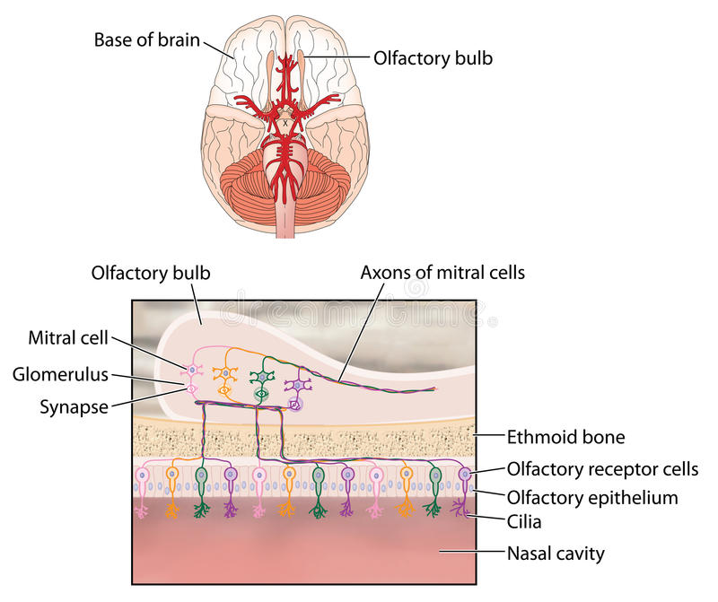 what is olfaction As shown in the how smell works section of the site, upon detecting a smell the olfactory neurones in the upper part of the nose generate an impulse which is passed to the brain along the olfactory nerve.