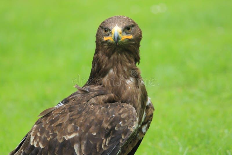 Olhando a águia dourada imagem de stock royalty free