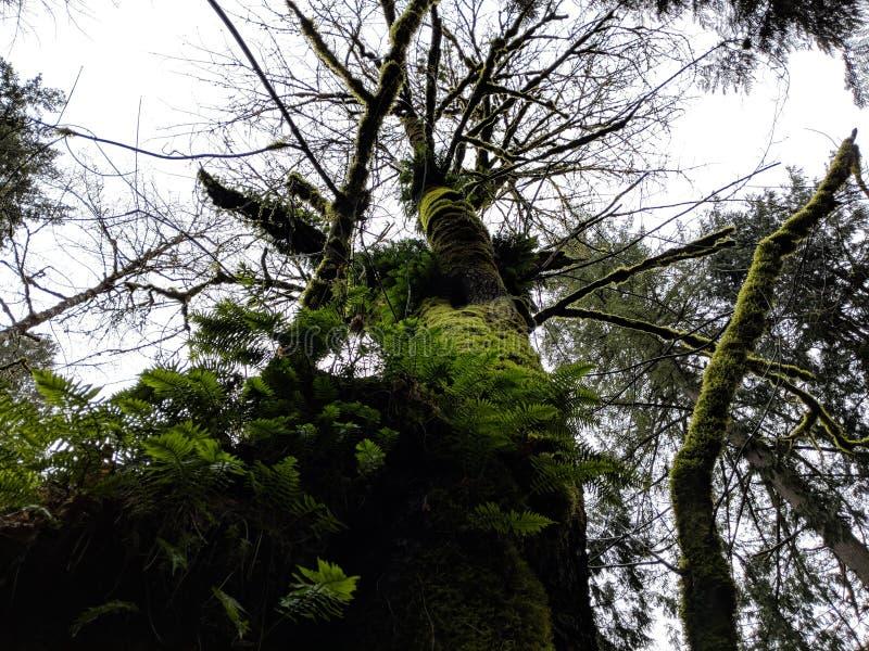 Olhando acima a árvore velha foto de stock royalty free