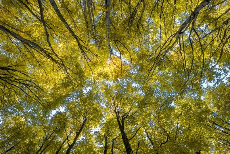 Olhando acima as ?rvores na floresta do outono fotografia de stock royalty free
