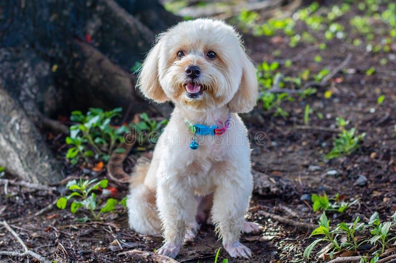 Olhando acima o cachorrinho bonito marrom da caniche que senta-se na terra, cão de caniche branco bonito no fundo verde do parque imagem de stock