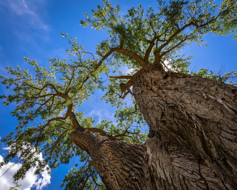 Olhando acima o tronco de uma árvore do Cottonwood foto de stock