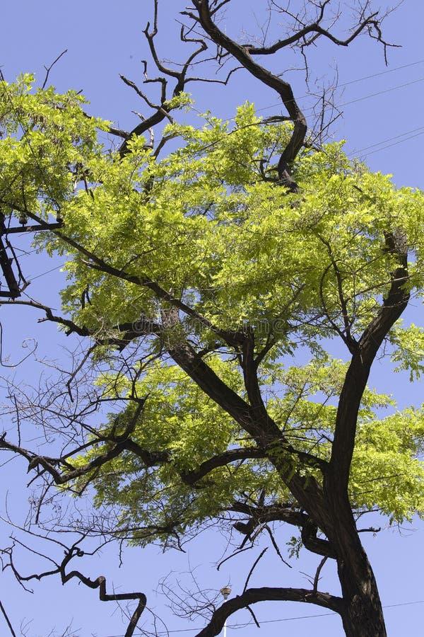 Olhando acima ramos e folhas de árvores contra o céu azul foto de stock