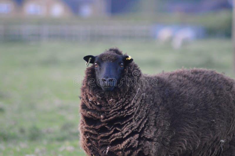 Olhando carneiros fotografia de stock