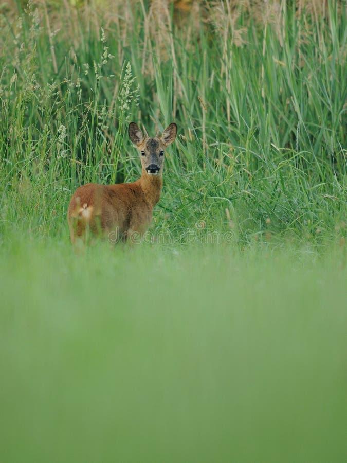 Olhando cervos fotografia de stock royalty free