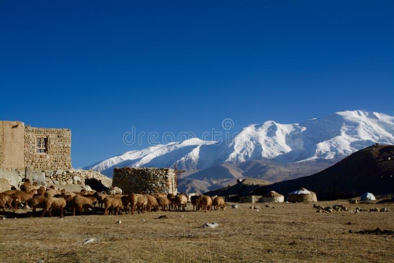 Olhando o gado pela montanha do lago e da neve foto de stock royalty free