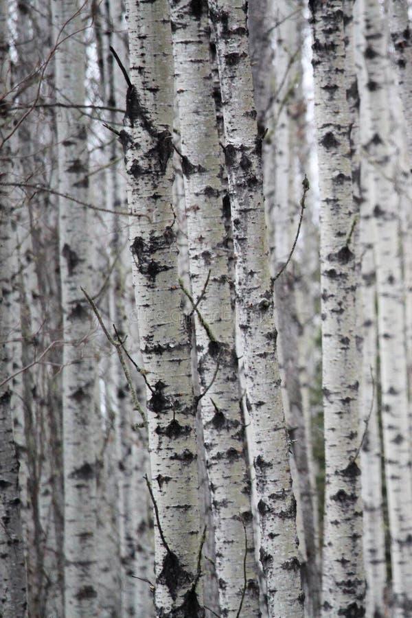 Olhando um remendo de troncos de árvore do vidoeiro imagens de stock