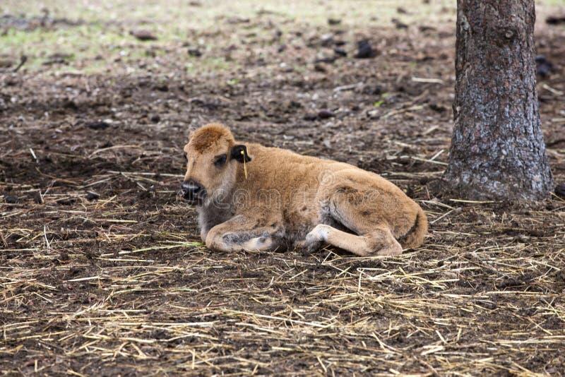 Olhando a vitela do bisonte. fotografia de stock