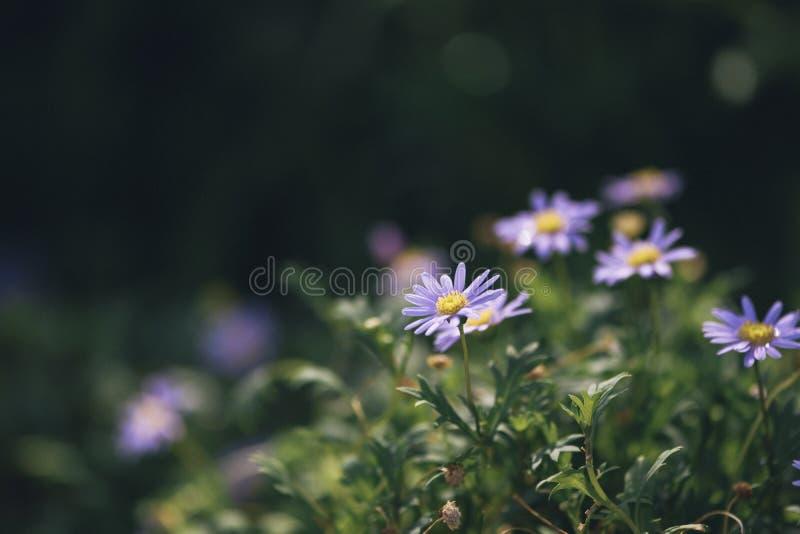 Olhar agradável da flor bonita do zinnia que floresce no fundo verde foto de stock royalty free
