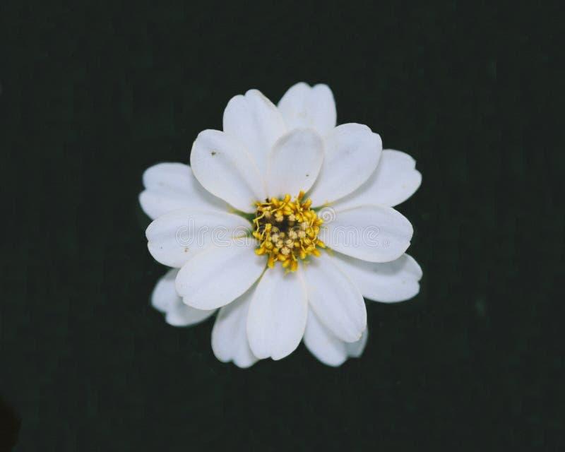 Olhar agradável da flor bonita do zinnia que floresce no fundo verde imagens de stock