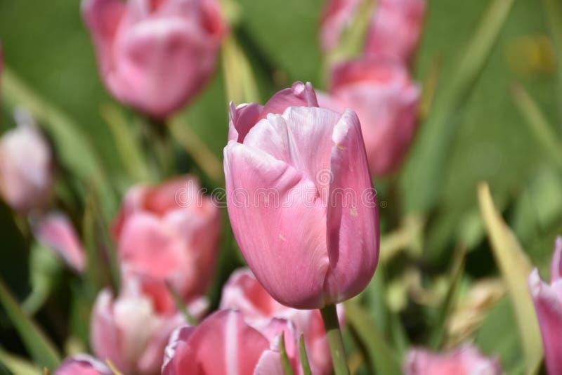 Olhar ascendente próximo perfeito em Tulip Flower Blossom cor-de-rosa imagem de stock royalty free