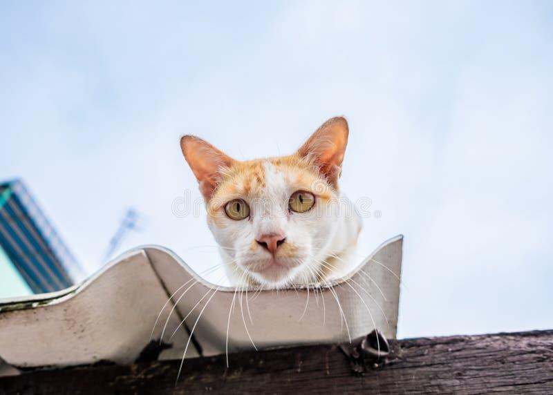 Olhar branco do amarelo alaranjado do gato a intenção no telhado imagens de stock royalty free