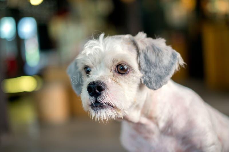 Olhar branco do cão do shih-Tzu do cabelo curto em algo foto de stock royalty free