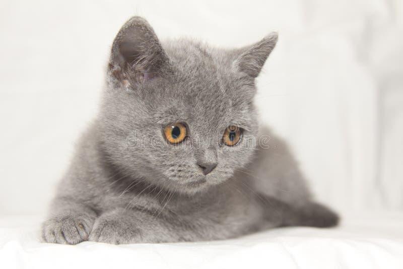 Olhar cinzento do gatinho para baixo fotografia de stock