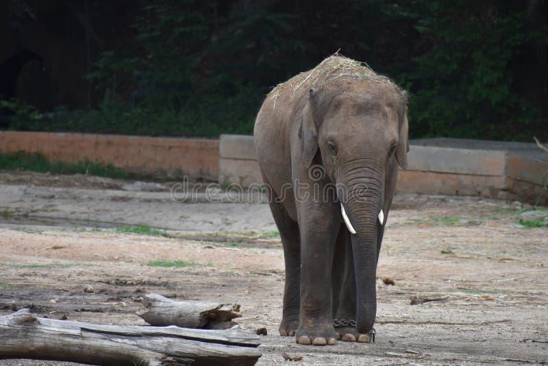 Olhar clássico dos elefantes na floresta fotos de stock