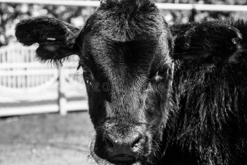 Olhar da vaca sério imagens de stock royalty free