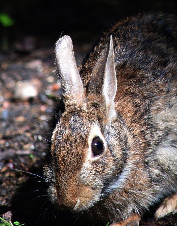 Olhar de um coelho foto de stock