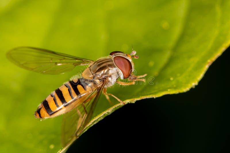 Olhar do close-up em uma mosca do pairo imagem de stock royalty free