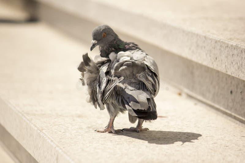 Olhar do close up do pombo pelas escadas foto de stock royalty free