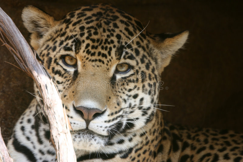 Olhar do leopardo imagens de stock royalty free
