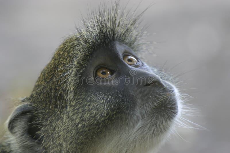 Olhar do macaco fotos de stock royalty free