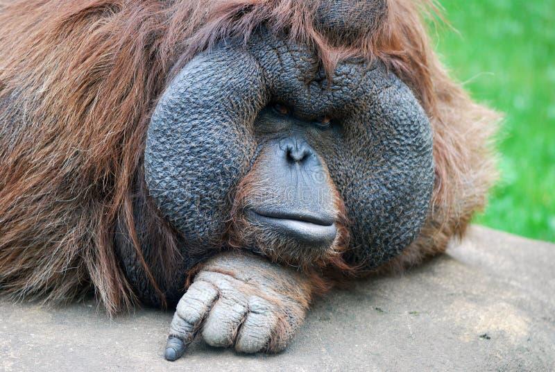 Olhar Do Orangotango Imagens de Stock Royalty Free