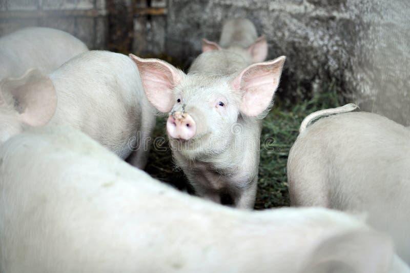Olhar do porco imagem de stock