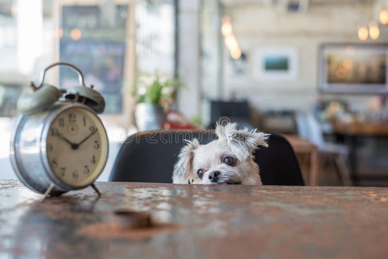 Olhar doce do cão algo na cafetaria com pulso de disparo foto de stock