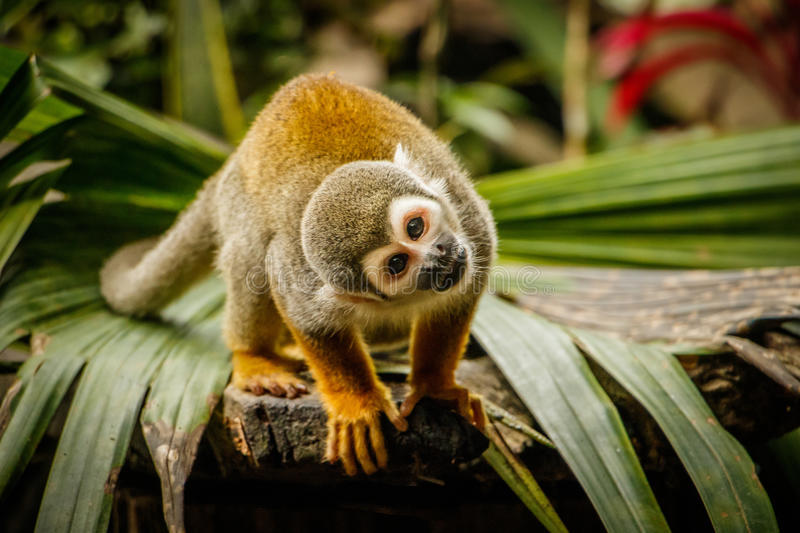 Olhar engraçado do macaco em uma floresta úmida, Equador do sqirrel fotos de stock royalty free